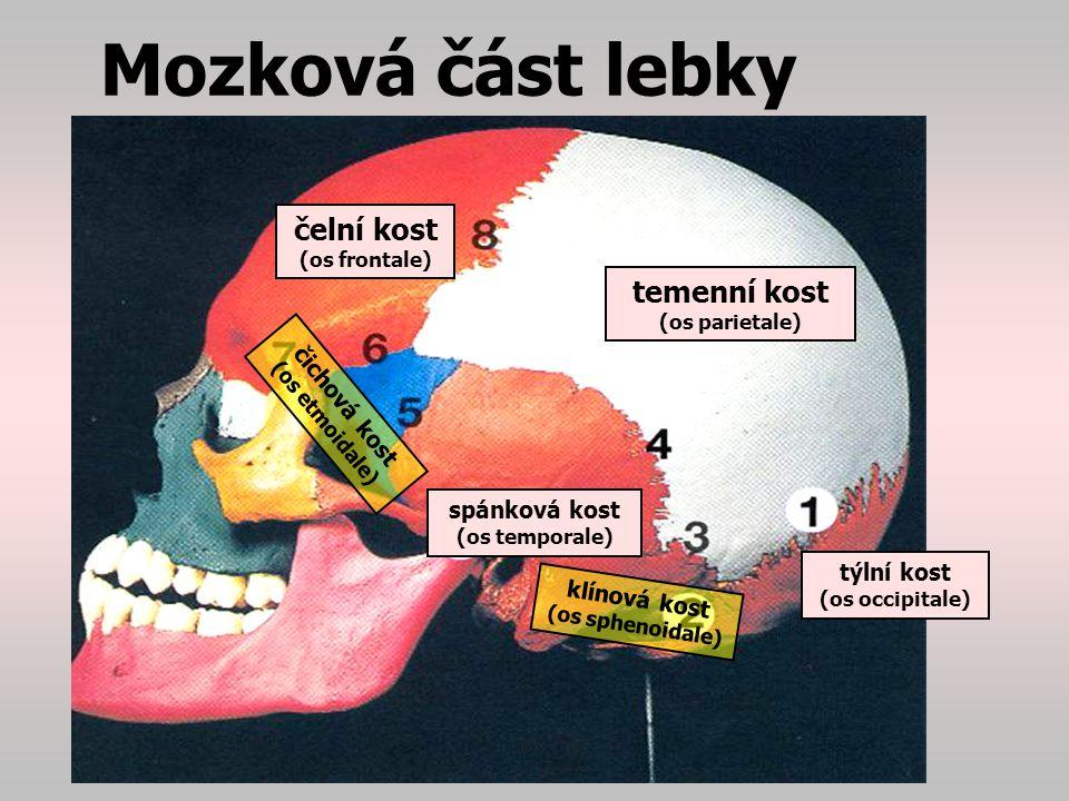 Mozková část lebky čelní kost (os frontale)…čelo, strop očnice temenní kost (os parietale)…klemba lebky čichová kost (os etmoidale)…strop nosní dutiny, skořepy ucho rovnováhyrtg pyramidy spánková kost (os temporale)…v pyramidě spánkové kosti je uloženo vnitřní ucho s ústrojím rovnováhy, vede zde řada nervů (…rtg pyramidy…) klínová kost (os sphenoidale) …základ spodiny lebeční, je zde vedlejší dutina nosní, a TURECKÉ SEDLO HYPOFÝZY rtg tureckého sedla Na horním okraji klín.kosti - pro uložení HYPOFÝZY= podvěsek mozkový (…rtg tureckého sedla …) týlní kost (os occipitale)…má velký otvor pro míchu, a kloubní plochy pro připojení na 1.obratel=ATLAS.