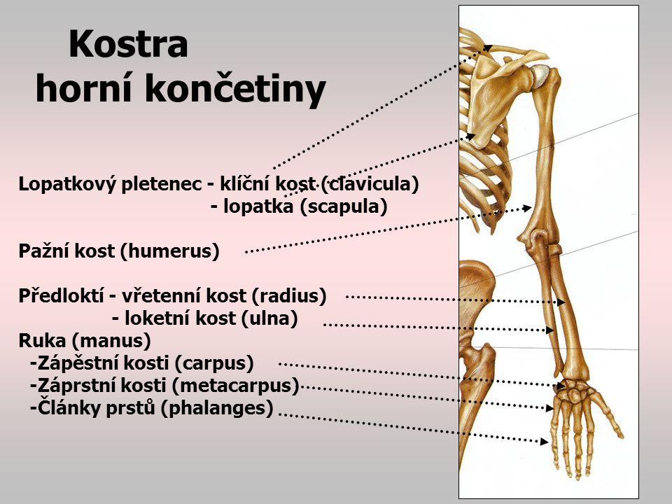 Kostra horní končetiny Lopatkový pletenec: výběžek lopatky a klíční kosti tvoří kloubní jamku pro pažní kost ruka: (manus), navazuje na předloktí: -zápěstí (carpus) je složeno z 8 drobných kůstek, nejznámější je os naviculare=člunková kost (často zlomeniny) záprstí -záprstí (metacarpus)… jedna kost za každým prstem -prsty (digiti) mají u palce 2 články (falangy) u ostatních prstů 3 články (falangy)