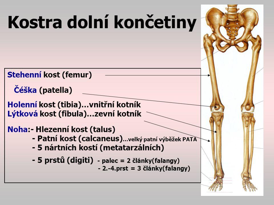 Kostra dolní končetiny Stehenní kost (femur) - největší kost těla, tvoří kyčelní kloub velkou kulovitou hlavicí a zapadá do kloubní jamky – acetabulum.