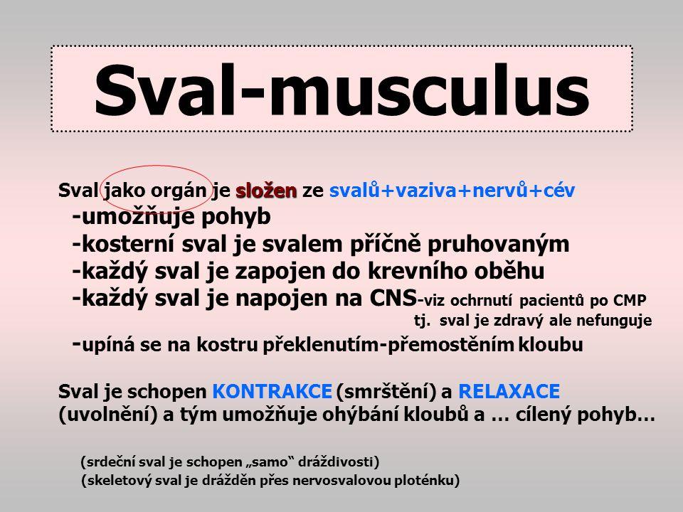 Myofibril y 1-2 um, tisíce v každém sval.vláknu jsou složeny z aktinu a myosinu – v elektronovém mikroskopu dávají pruhovaný vzhled.