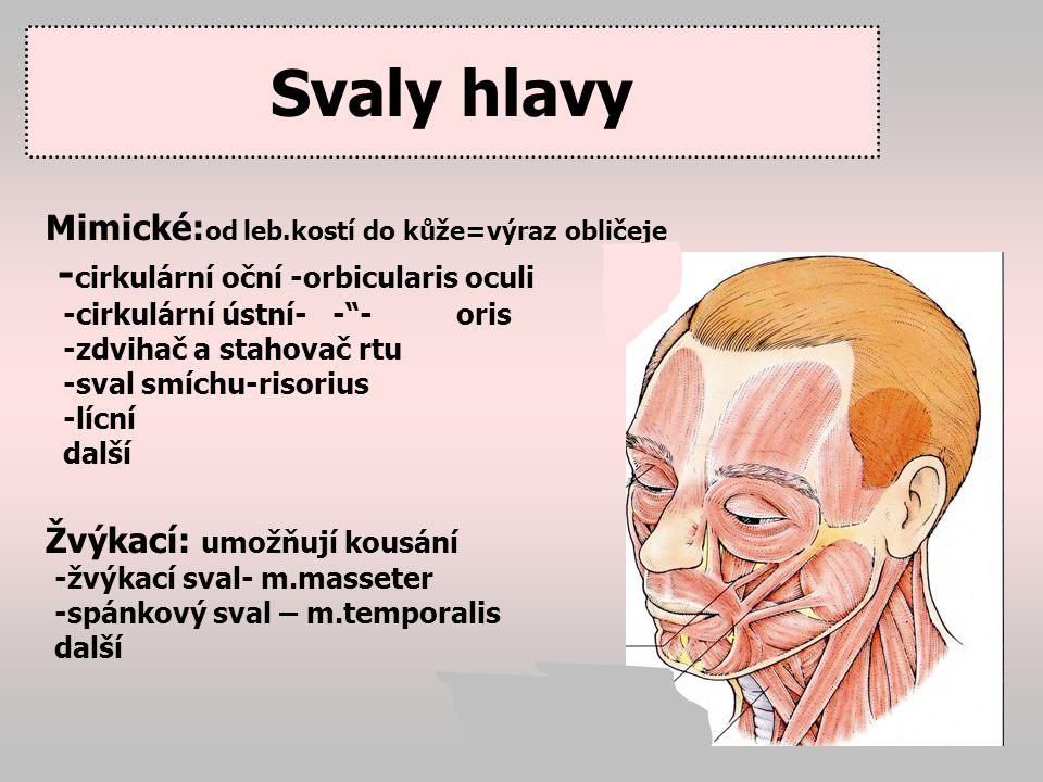 Svaly krku Řada svalů ovlivňujících pohyby hlavy, hrtanu, jazylky, žeber (pomocné dechové svaly) Platysma – plochý krční od dolního rtu až na klíční kost Velký kývač hlavy – m.sternokleidomastoideus Trapézový sval (m.trapesius) šátkový sval.