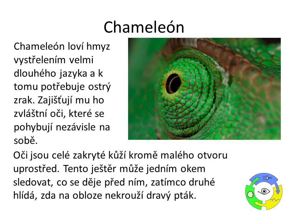 Chameleón loví hmyz vystřelením velmi dlouhého jazyka a k tomu potřebuje ostrý zrak.
