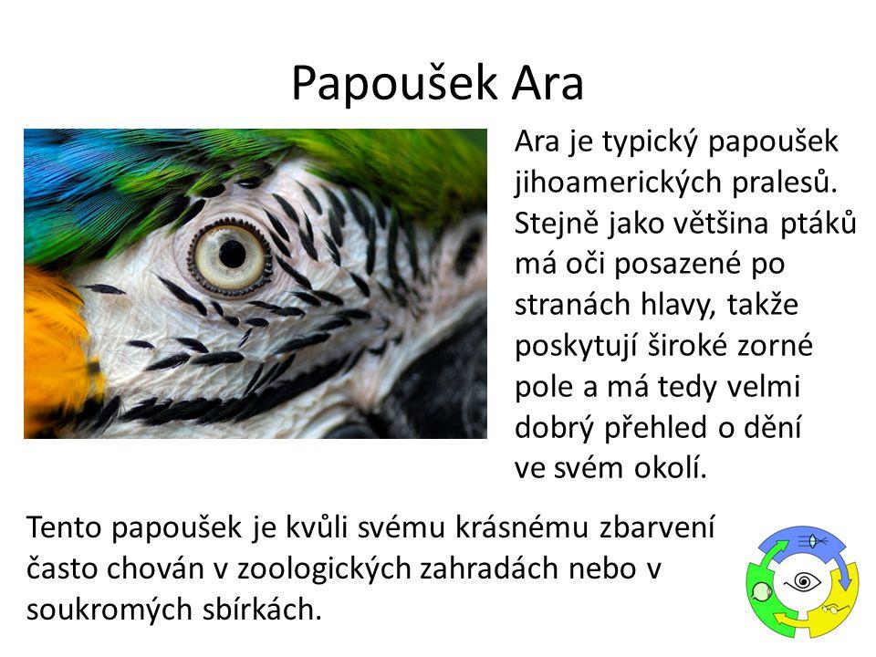 Ara je typický papoušek jihoamerických pralesů. Stejně jako většina ptáků má oči posazené po stranách hlavy, takže poskytují široké zorné pole a má te