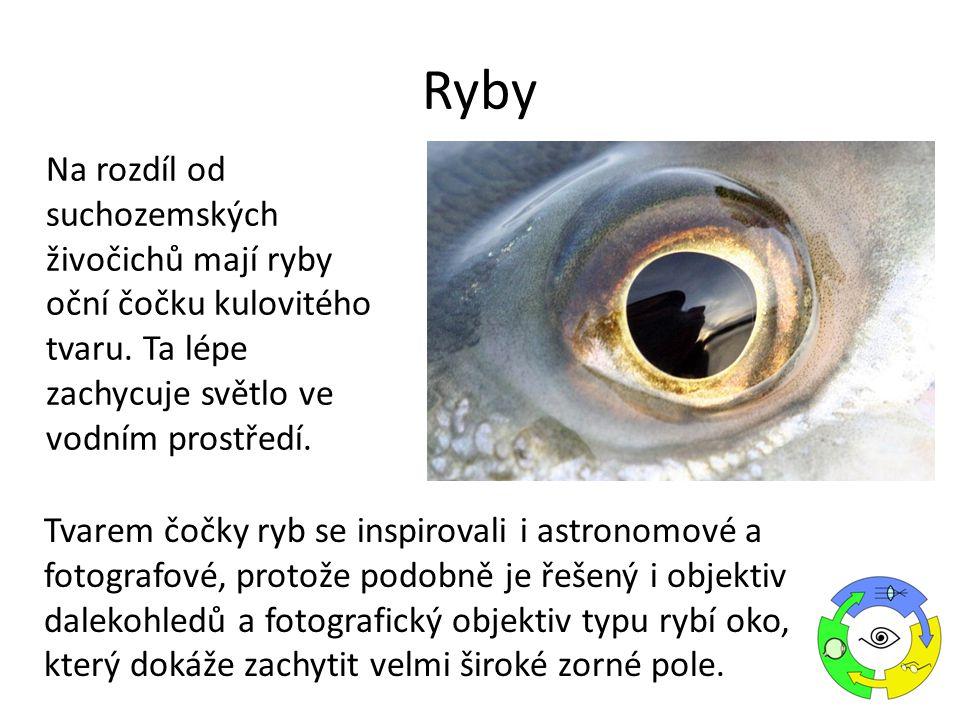 Na rozdíl od suchozemských živočichů mají ryby oční čočku kulovitého tvaru.