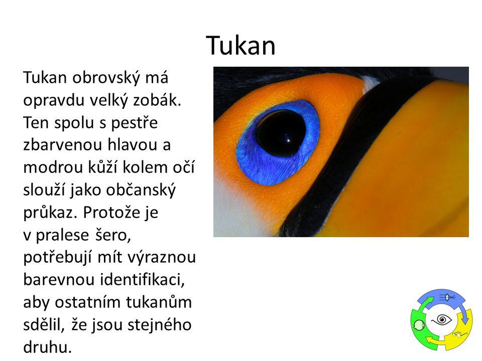 Tukan obrovský má opravdu velký zobák. Ten spolu s pestře zbarvenou hlavou a modrou kůží kolem očí slouží jako občanský průkaz. Protože je v pralese š