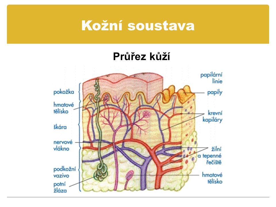 Kožní soustava Zajímavosti o kožní soustavě Nehty na rukou rostou čtyřikrát rychleji než nehty na nohou.