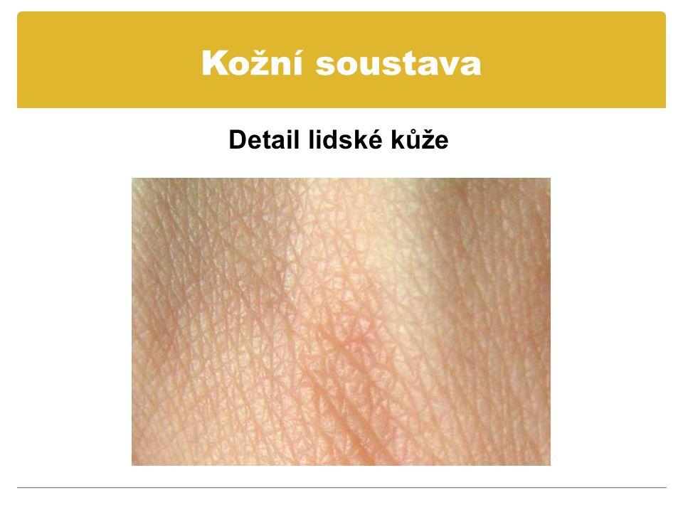 Kožní soustava Lidská kůže opadává a kompletně se obnovuje každých 27 dní.