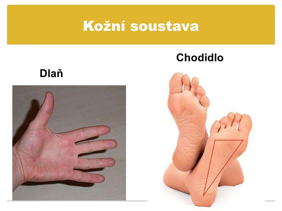 Kožní soustava Chodidlo Dlaň