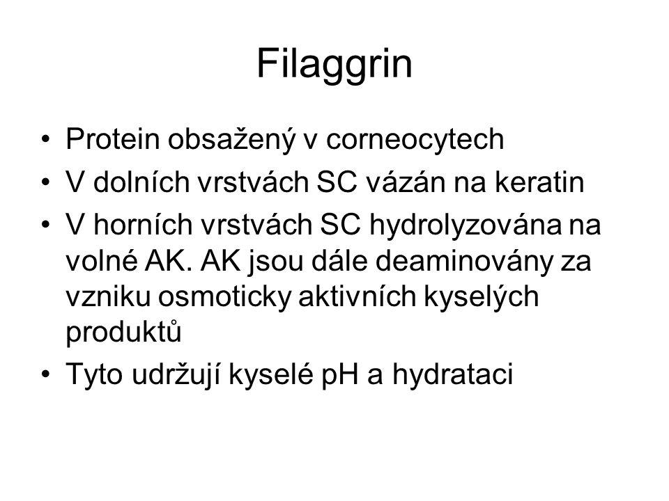 Filaggrin Protein obsažený v corneocytech V dolních vrstvách SC vázán na keratin V horních vrstvách SC hydrolyzována na volné AK. AK jsou dále deamino