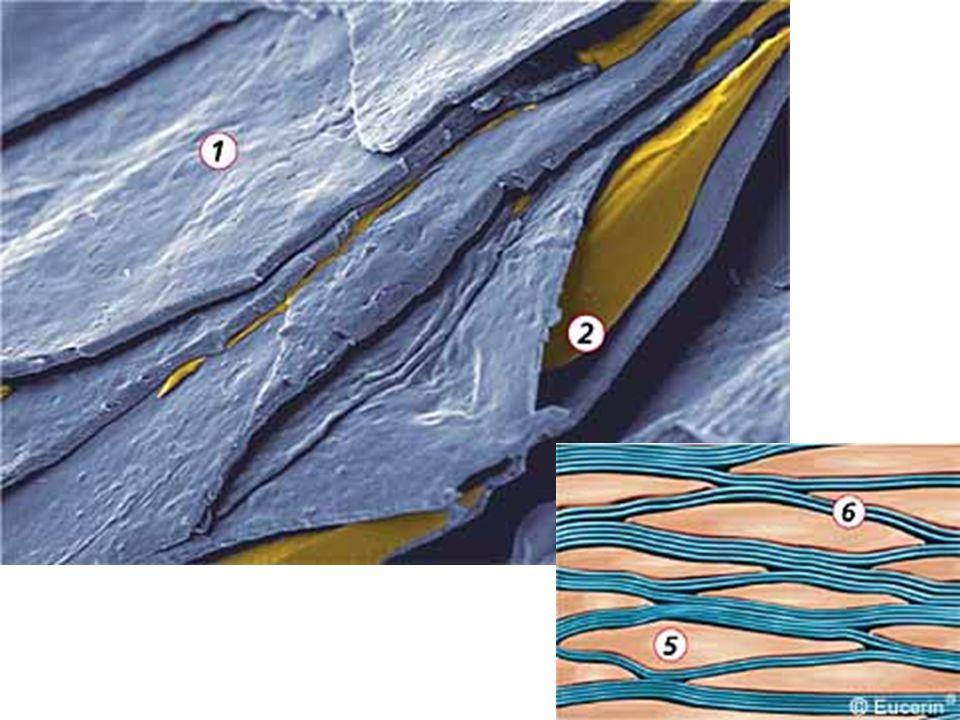 Funkce buněčné složeky kožní bariéry Buňky: –Mechanická –Hydratace –UV ochrana –spouštění zánětlivé odpovědi (Langerhansovy buňky)