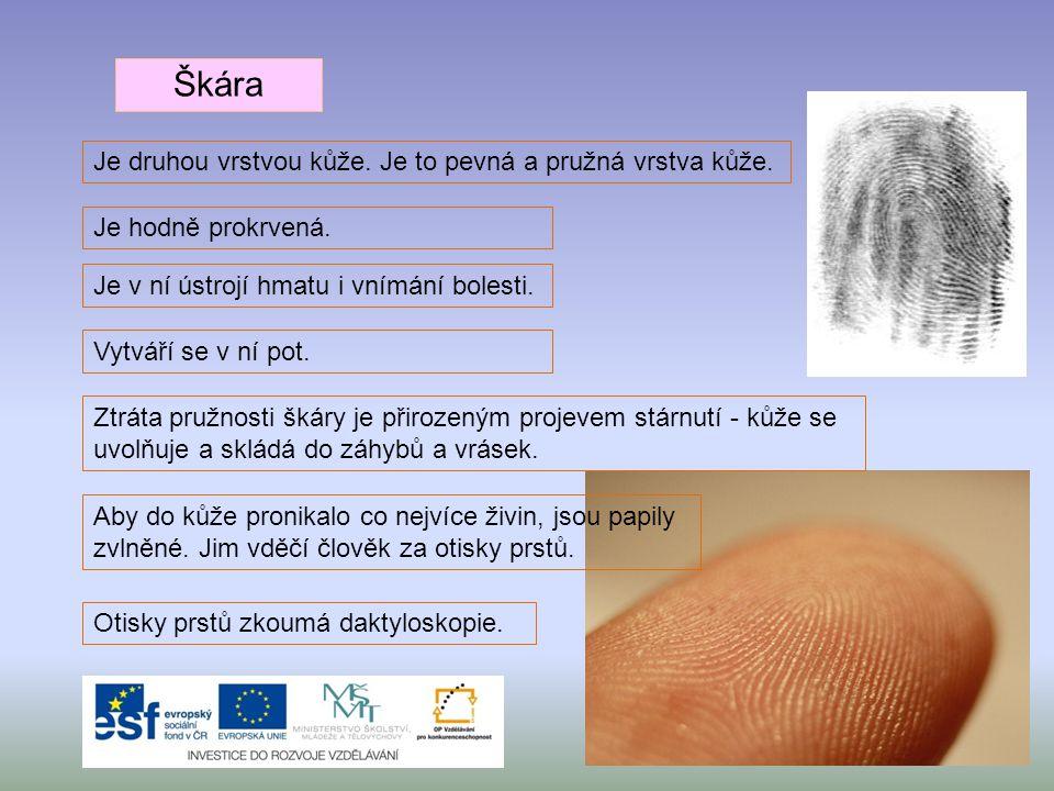 Škára Je druhou vrstvou kůže. Je to pevná a pružná vrstva kůže. Je hodně prokrvená. Je v ní ústrojí hmatu i vnímání bolesti. Vytváří se v ní pot. Ztrá