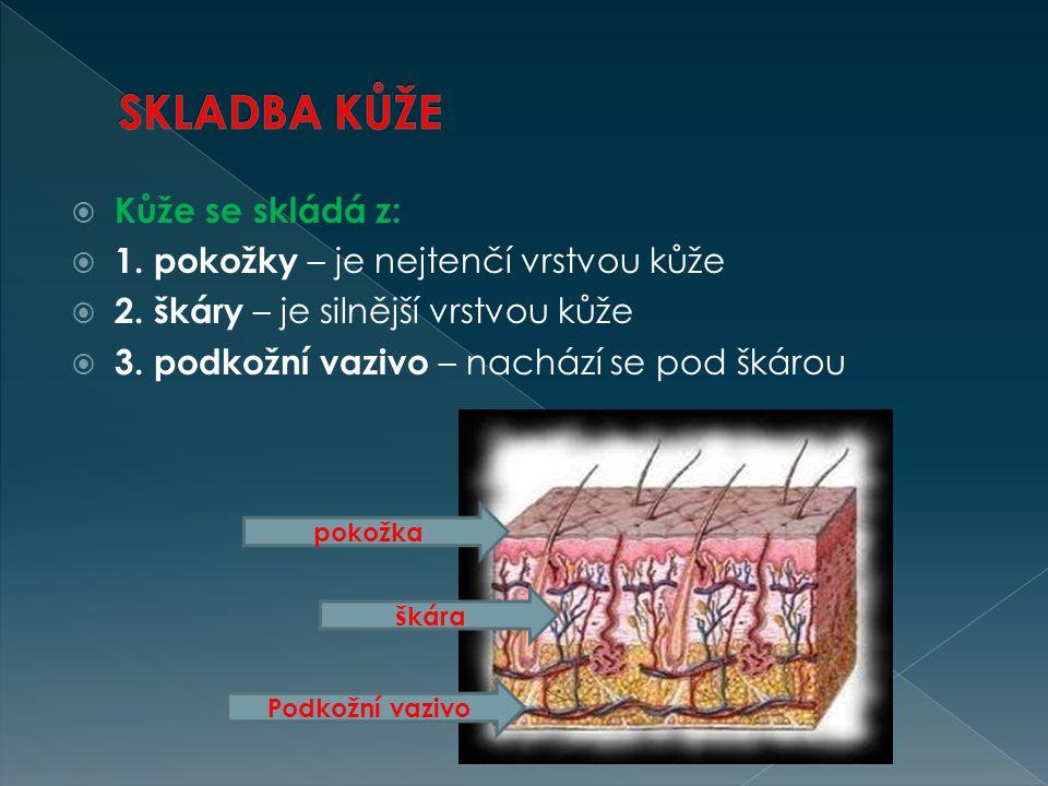  Kůže se skládá z:  1. pokožky – je nejtenčí vrstvou kůže  2. škáry – je silnější vrstvou kůže  3. podkožní vazivo – nachází se pod škárou pokožka