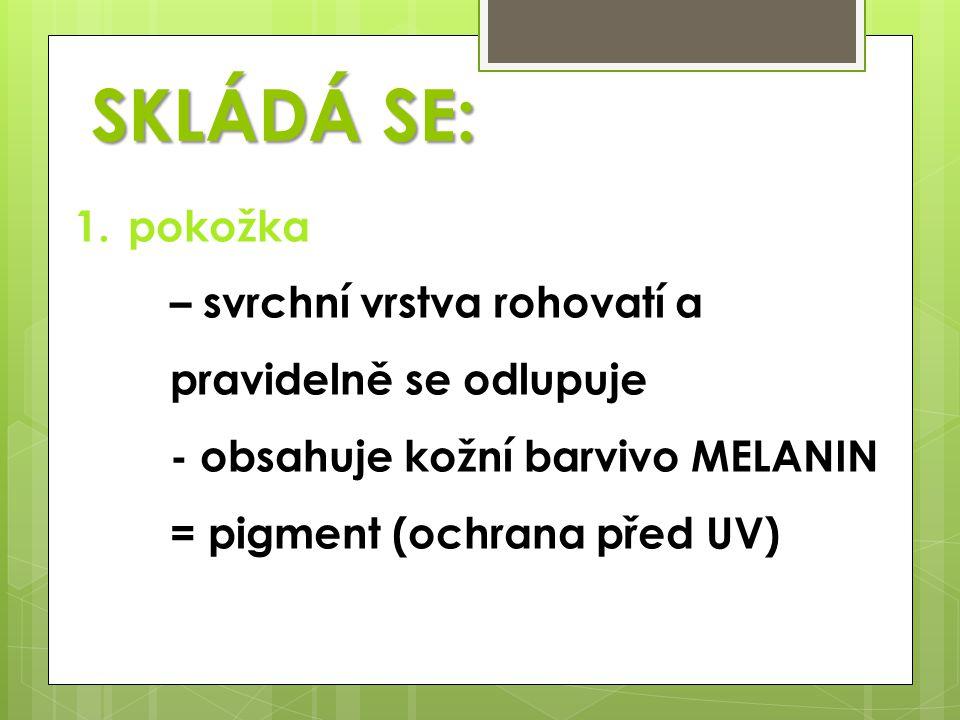 1.pokožka – svrchní vrstva rohovatí a pravidelně se odlupuje - obsahuje kožní barvivo MELANIN = pigment (ochrana před UV) SKLÁDÁ SE: