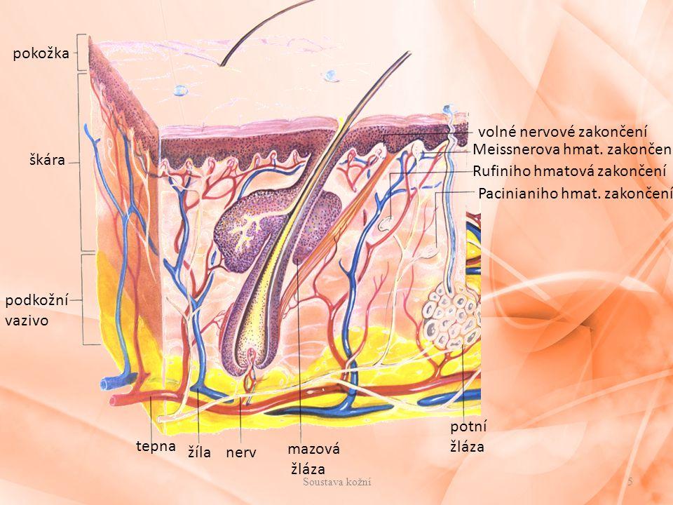 pokožka škára podkožní vazivo tepna žíla mazová žláza potní žláza nerv volné nervové zakončení Meissnerova hmat. zakončení Rufiniho hmatová zakončení