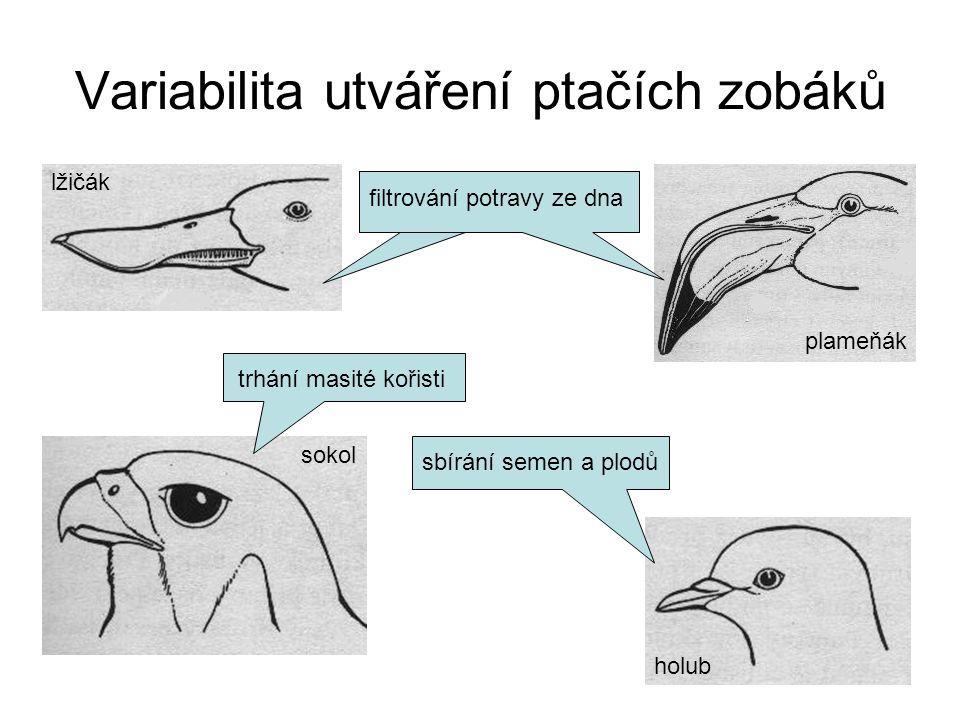 Variabilita utváření ptačích zobáků lžičák filtrování potravy ze dna plameňák sokol trhání masité kořisti holub sbírání semen a plodů