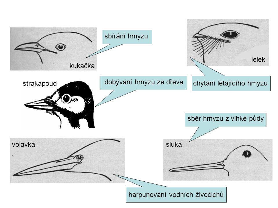 kukačka sbírání hmyzu chytání létajícího hmyzu lelek volavka harpunování vodních živočichů sluka sběr hmyzu z vlhké půdy strakapoud dobývání hmyzu ze