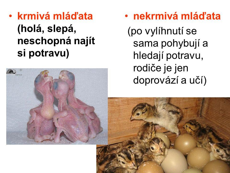 krmivá mláďata (holá, slepá, neschopná najít si potravu) nekrmivá mláďata (po vylíhnutí se sama pohybují a hledají potravu, rodiče je jen doprovází a