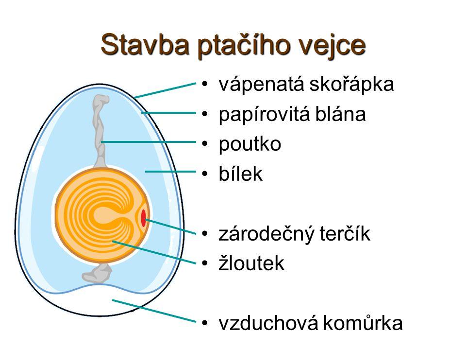 Stavba ptačího vejce vápenatá skořápka papírovitá blána poutko bílek zárodečný terčík žloutek vzduchová komůrka