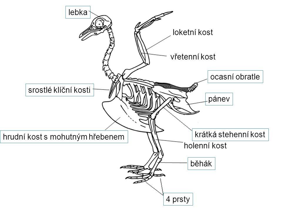 lebka loketní kost vřetenní kost srostlé klíční kosti hrudní kost s mohutným hřebenem ocasní obratle pánev krátká stehenní kost holenní kost běhák 4 p