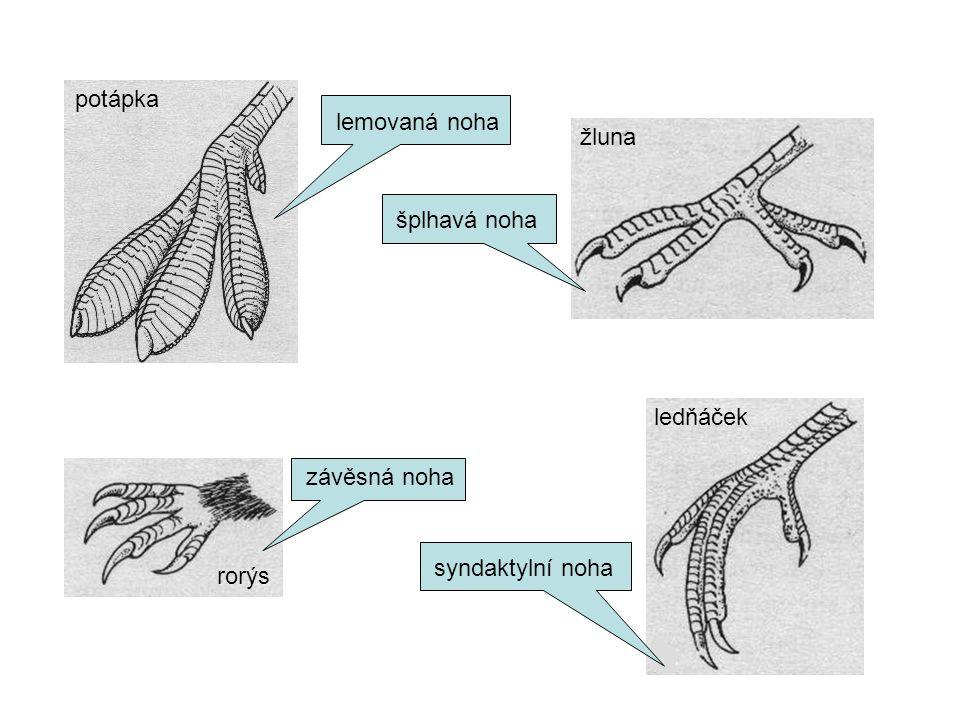 potápka ledňáček rorýs žluna lemovaná noha závěsná noha šplhavá noha syndaktylní noha