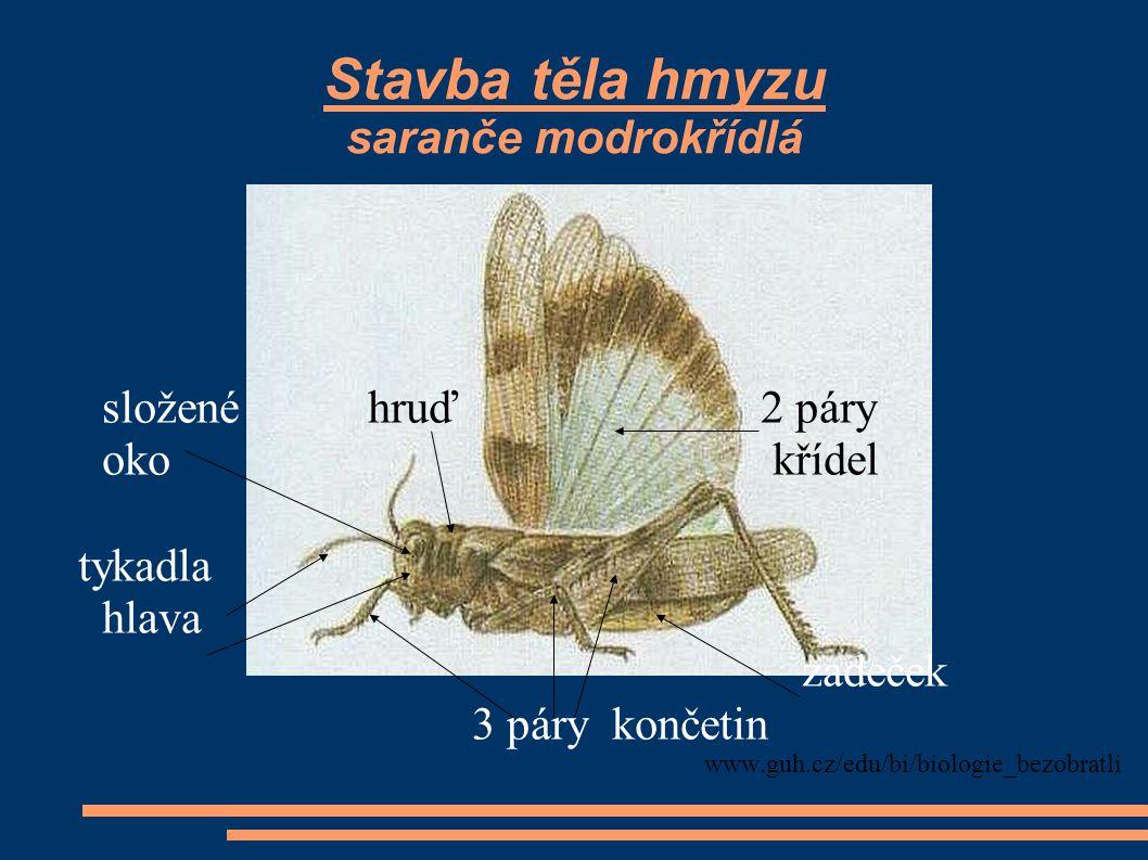 Stavba těla hmyzu saranče modrokřídlá složené hruď 2 páry oko křídel tykadla hlava zadeček 3 páry končetin www.guh.cz/edu/bi/biologie_bezobratli