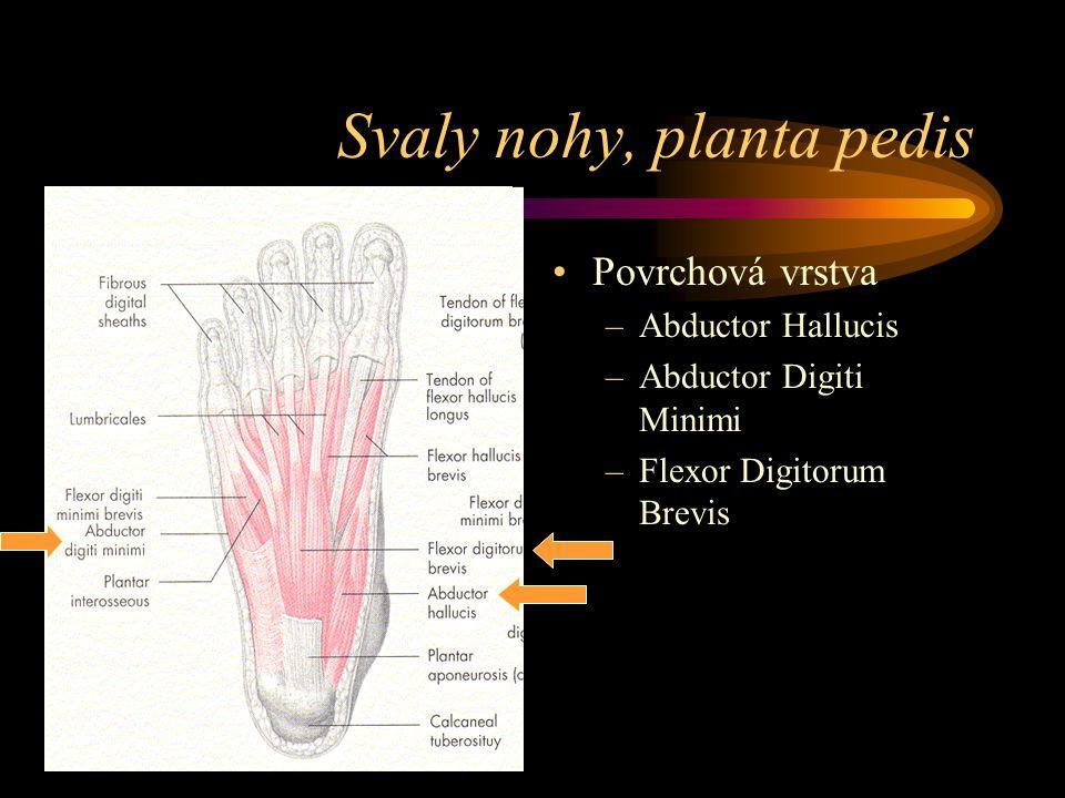 Svaly nohy, planta pedis Povrchová vrstva –Abductor Hallucis –Abductor Digiti Minimi –Flexor Digitorum Brevis