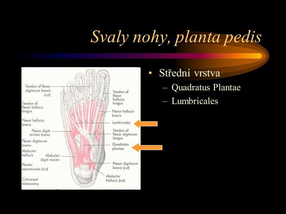 Svaly nohy, planta pedis Střední vrstva –Quadratus Plantae –Lumbricales
