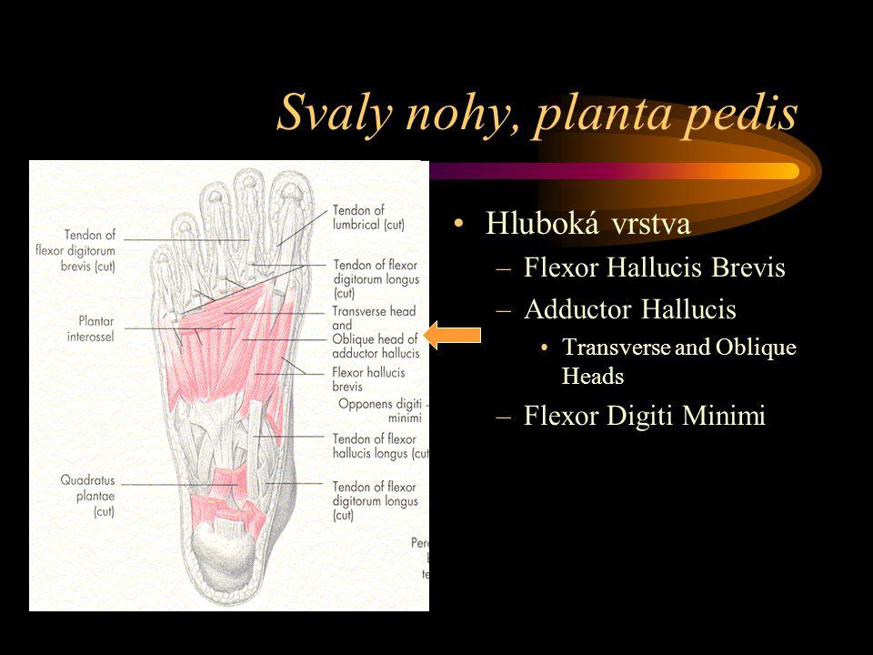 Svaly nohy, planta pedis Hluboká vrstva –Flexor Hallucis Brevis –Adductor Hallucis Transverse and Oblique Heads –Flexor Digiti Minimi