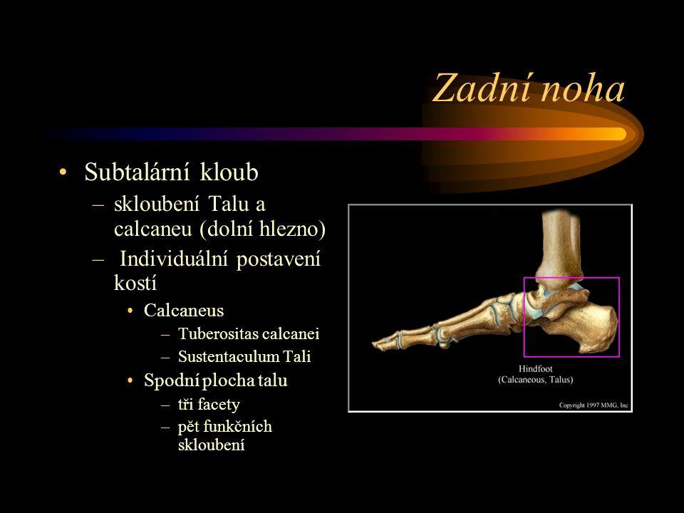 Zadní noha Subtalární kloub –skloubení Talu a calcaneu (dolní hlezno) – Individuální postavení kostí Calcaneus –Tuberositas calcanei –Sustentaculum Ta