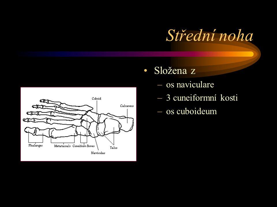 Střední noha Složena z –os naviculare –3 cuneiformní kosti –os cuboideum