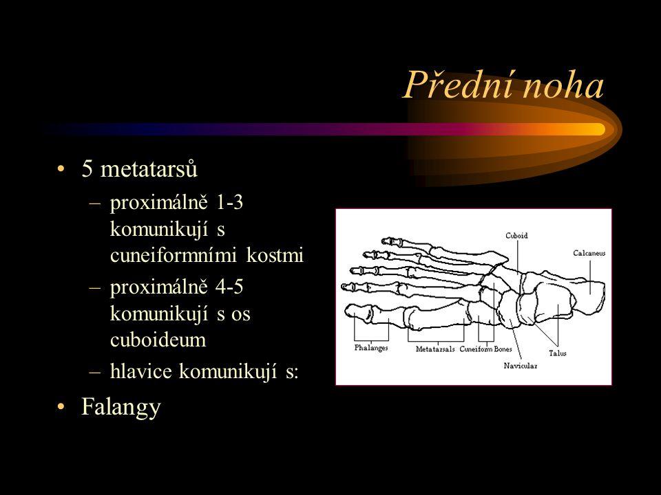 Přední noha 5 metatarsů –proximálně 1-3 komunikují s cuneiformními kostmi –proximálně 4-5 komunikují s os cuboideum –hlavice komunikují s: Falangy