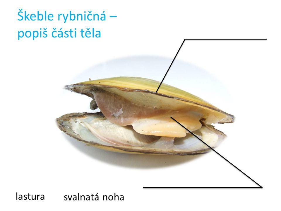Škeble rybničná – popiš části těla lastura svalnatá noha