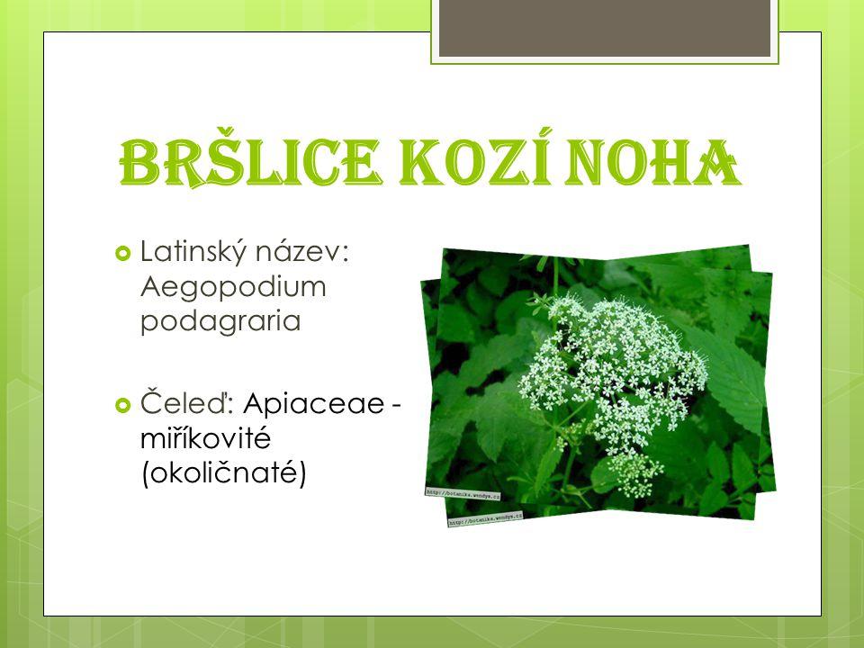 Bršlice kozí noha  Latinský název: Aegopodium podagraria  Čeleď: Apiaceae - miříkovité (okoličnaté)