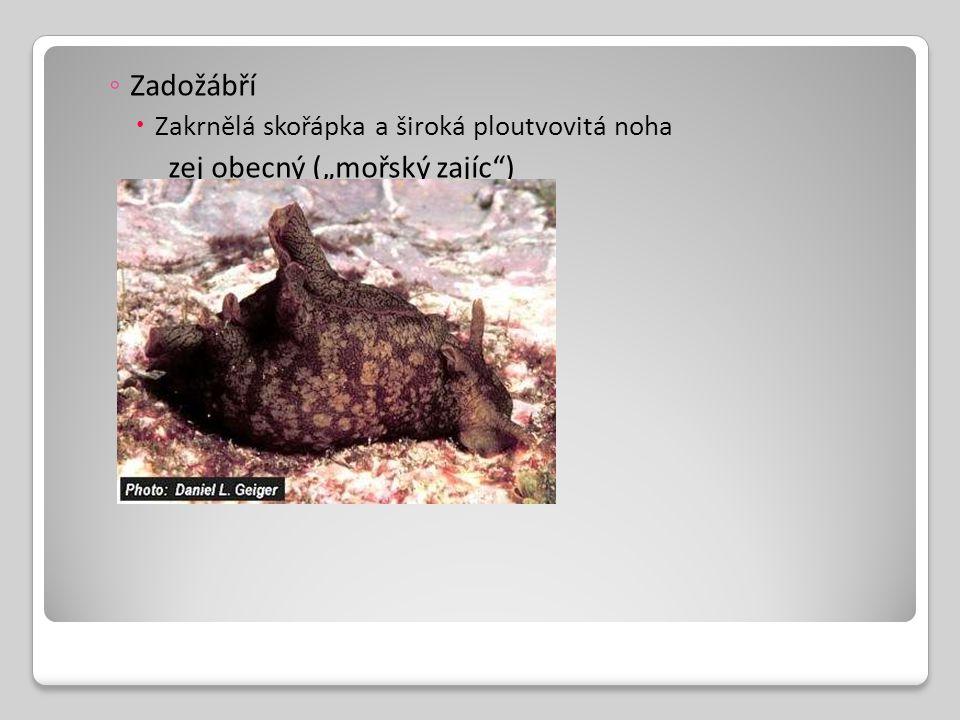 """◦ Zadožábří  Zakrnělá skořápka a široká ploutvovitá noha zej obecný (""""mořský zajíc"""")"""