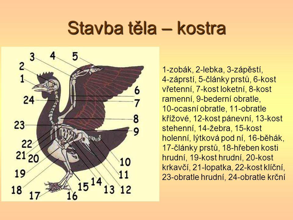 Stavba těla – kostra 1-zobák, 2-lebka, 3-zápěstí, 4-záprstí, 5-články prstů, 6-kost vřetenní, 7-kost loketní, 8-kost ramenní, 9-bederní obratle, 10-oc