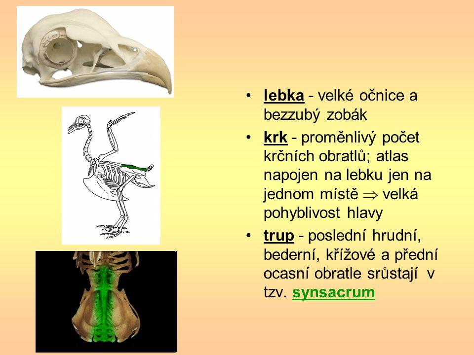 lebka - velké očnice a bezzubý zobák krk - proměnlivý počet krčních obratlů; atlas napojen na lebku jen na jednom místě  velká pohyblivost hlavy trup