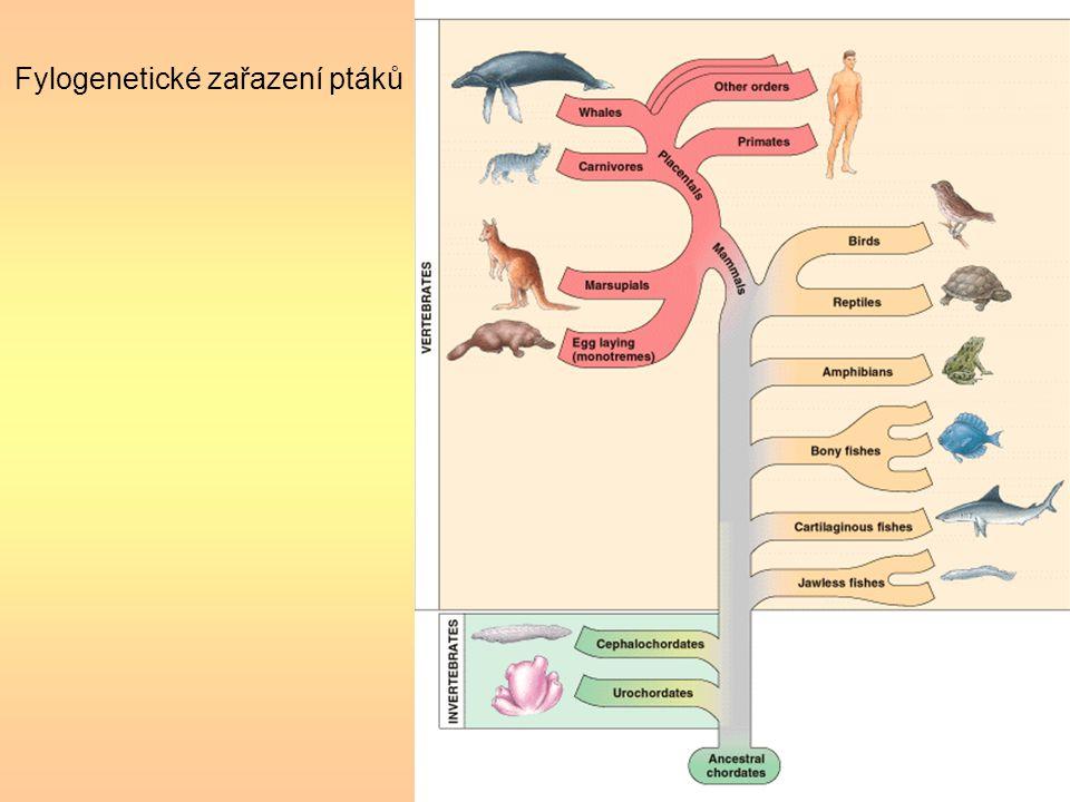 Fylogenetické zařazení ptáků