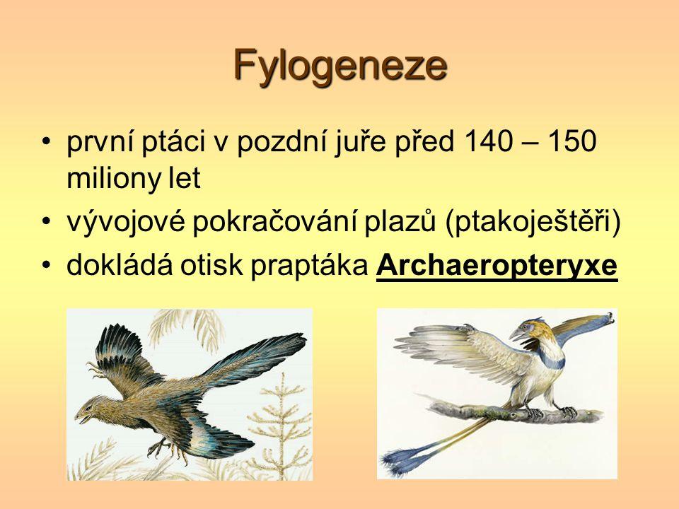 Fylogeneze první ptáci v pozdní juře před 140 – 150 miliony let vývojové pokračování plazů (ptakoještěři) dokládá otisk praptáka Archaeropteryxe