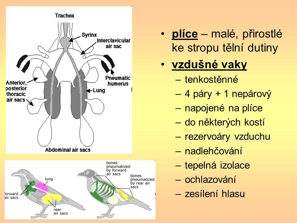 plíce – malé, přirostlé ke stropu tělní dutiny vzdušné vaky –tenkostěnné –4 páry + 1 nepárový –napojené na plíce –do některých kostí –rezervoáry vzduc