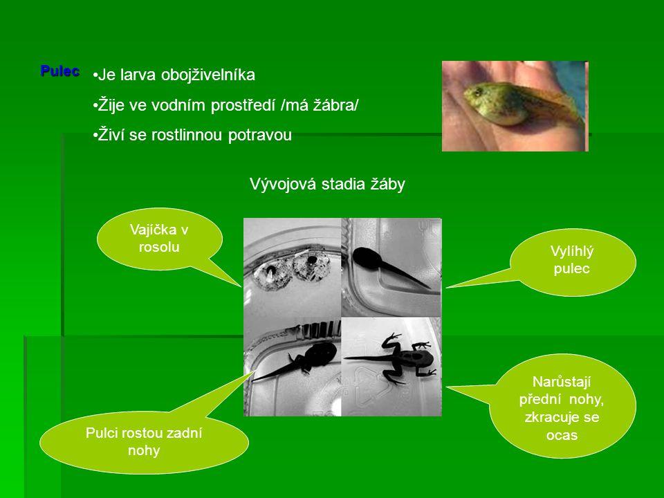 Pulec Je larva obojživelníka Žije ve vodním prostředí /má žábra/ Živí se rostlinnou potravou Vývojová stadia žáby Vajíčka v rosolu Pulci rostou zadní