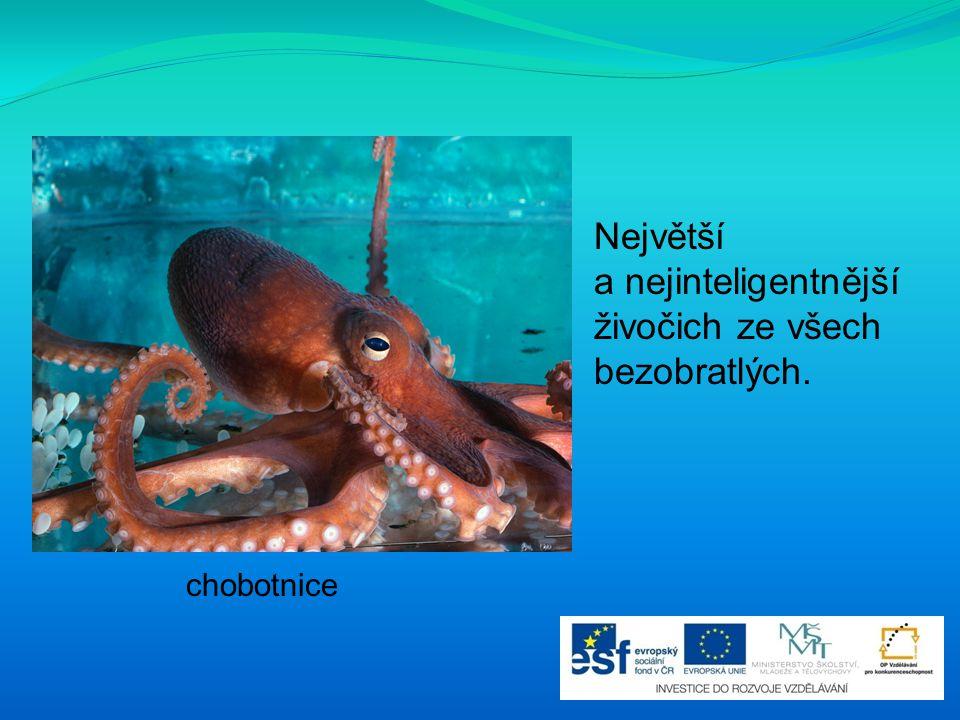 chobotnice Největší a nejinteligentnější živočich ze všech bezobratlých.