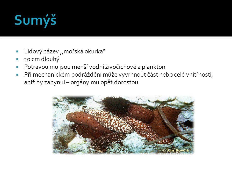  Některé druhy mají 30-50 cm  Rozšířenou spodní stranou těla se mohou pomalu posouvat po dně  Dokáží strávit i větší rybky