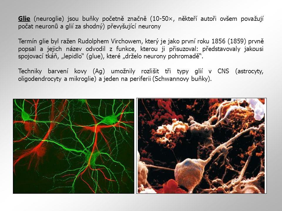 Glie (neuroglie) jsou buňky početně značně (10-50×, někteří autoři ovšem považují počat neuronů a glií za shodný) převyšující neurony Termín glie byl