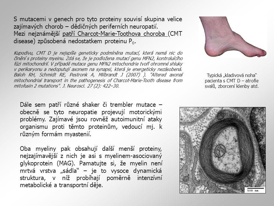 S mutacemi v genech pro tyto proteiny souvisí skupina velice zajímavých chorob – dědičných periferních neuropatií. Mezi nejznámější patří Charcot-Mari