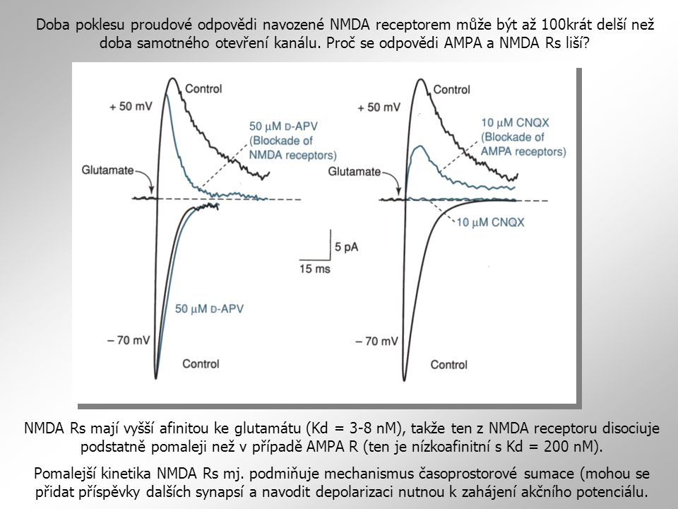 Typická excitační synapse (bez KA Rs, které jsou buď pre- nebo postsynaptické podle typu synapse) NMDA glutamát kyselina kainová