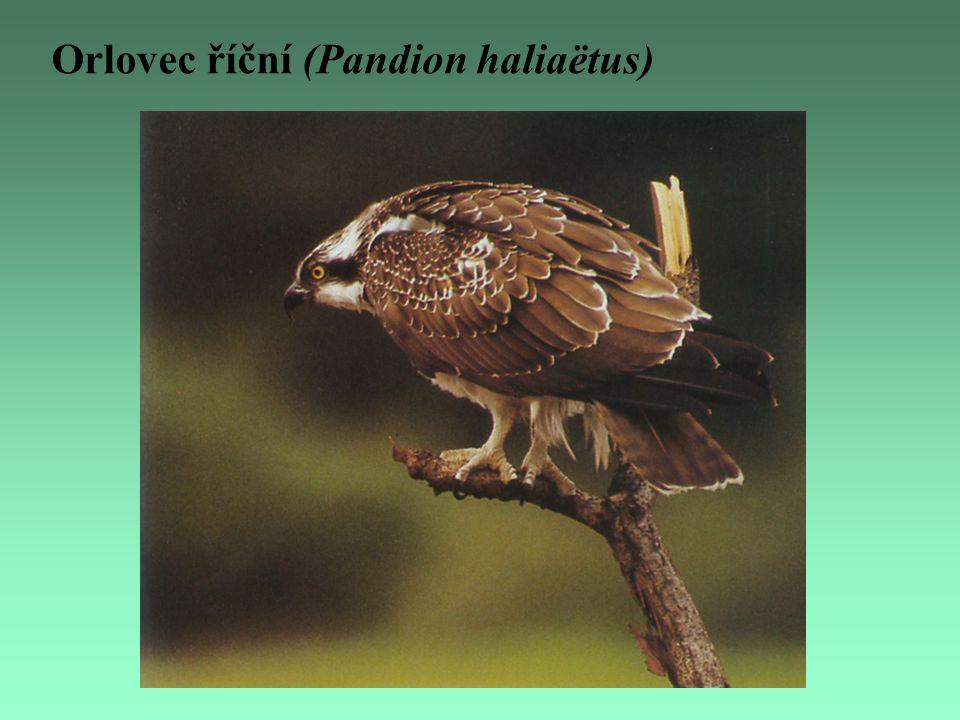 Orlovec říční (Pandion haliaëtus)