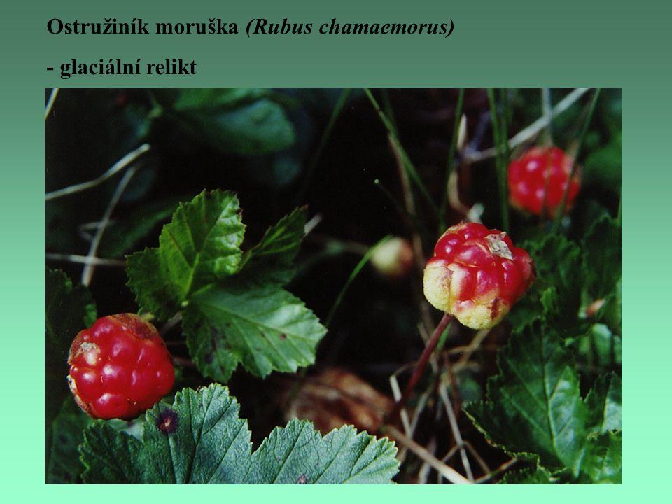 Ostružiník moruška (Rubus chamaemorus) - glaciální relikt