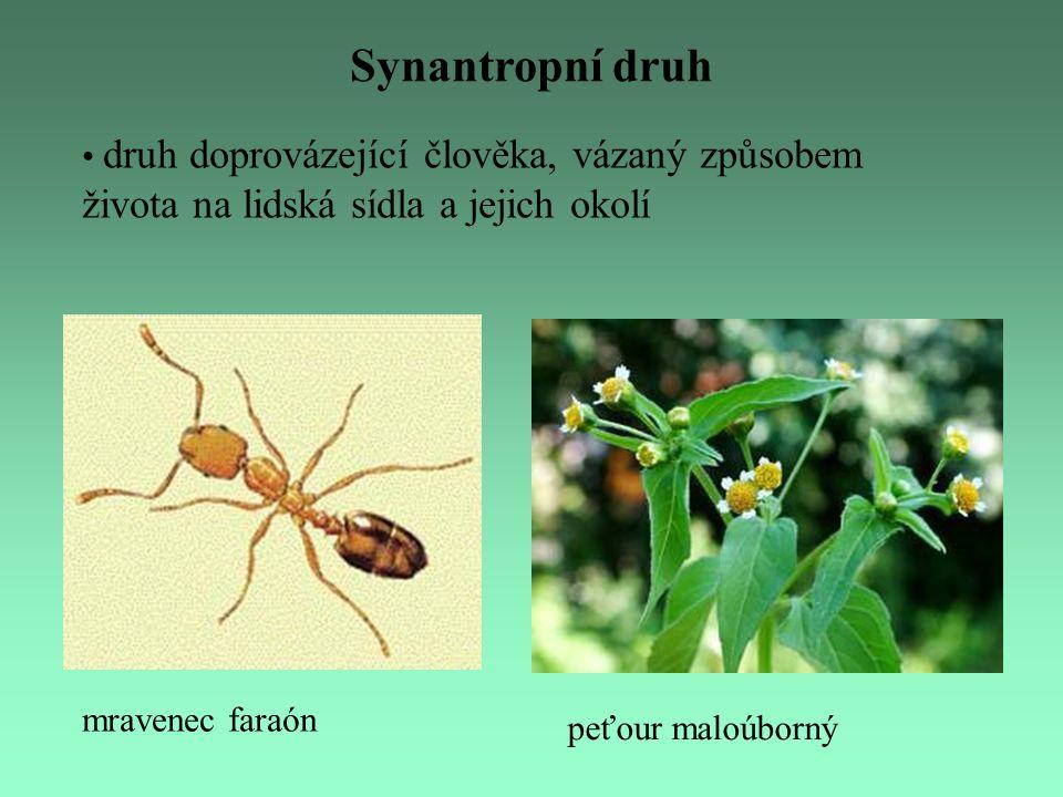 mravenec faraón Synantropní druh druh doprovázející člověka, vázaný způsobem života na lidská sídla a jejich okolí peťour maloúborný