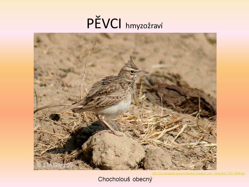 PĚVCI hmyzožraví Chocholouš obecný http://cs.wikipedia.org/wiki/Soubor:Crested_Lark_I-Haryana_IMG_9946.jpg