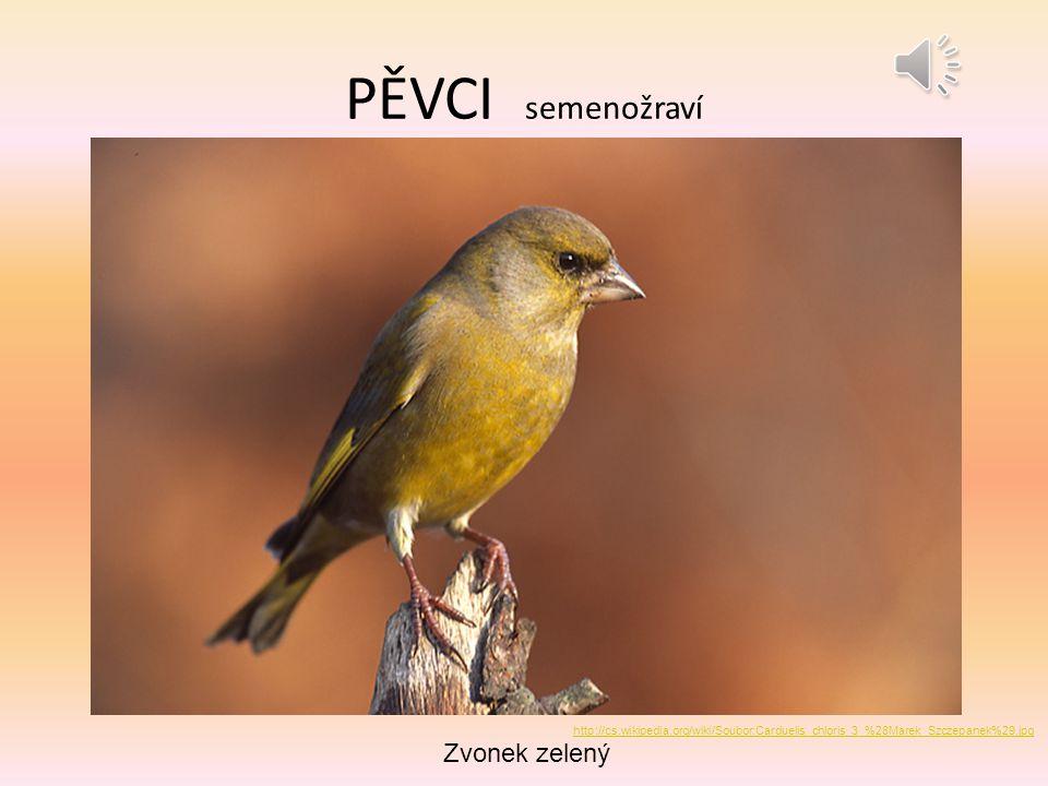 PĚVCI semenožraví Zvonek zelený http://cs.wikipedia.org/wiki/Soubor:Carduelis_chloris_3_%28Marek_Szczepanek%29.jpg